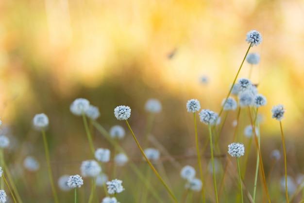 Blume kradumngen (eriocaulon henryanum)