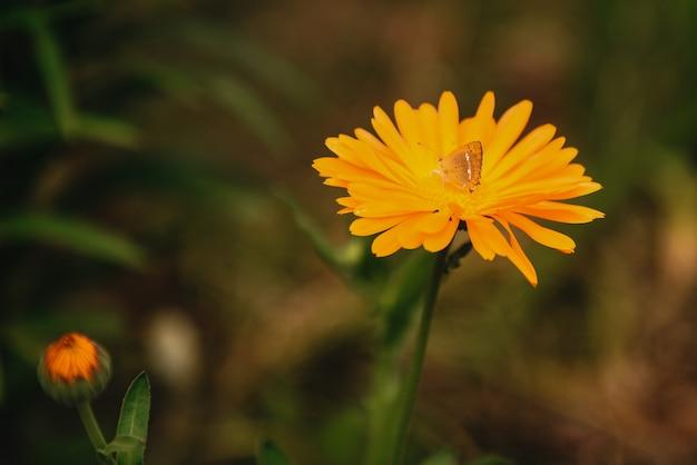Blume mit blättern calendula auf unscharfem grünem hintergrund. ringelblume am sonnigen sommertag. nahaufnahme des heilkraut calendula kraut.