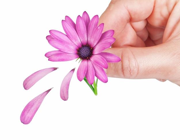 Blume osteospermum gefallene blütenblätter im frühjahr für das mädchen. in der hand des mannes.