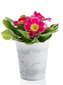 Blume primula vulgaris mit blühenden knospen lokalisiert auf weißem hintergrund. mehrjährige pflanze in einem topf.