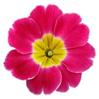 Blume primula vulgaris mit blühenden knospen lokalisiert auf weißem hintergrund.