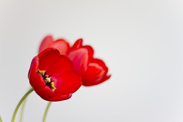 Blume schöne blumengeschäft tulpen naturefauna