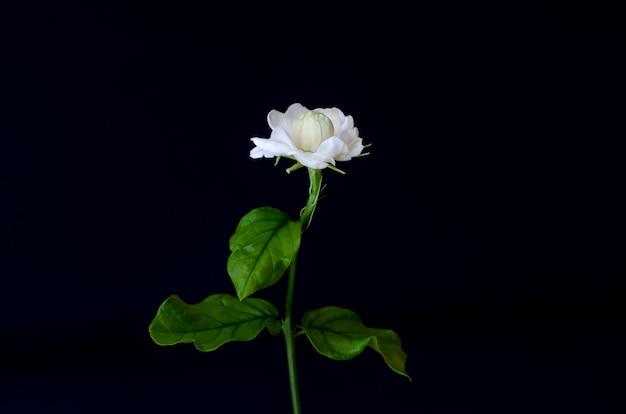 Blume thailands jasmin mit seinen blättern auf schwarzem.