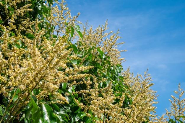 Blume von longan im garten mit blauem himmel