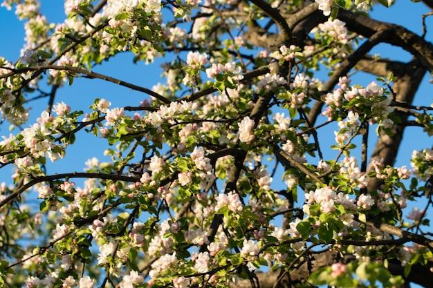 Blumen auf einem baum im frühjahr, apfelbaum.