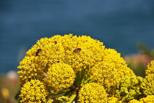 Blumen auf kap roca auf atlantik, portugal