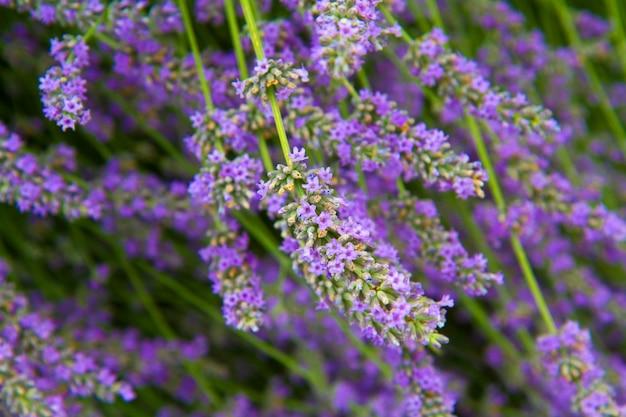 Blumen aus lavendel