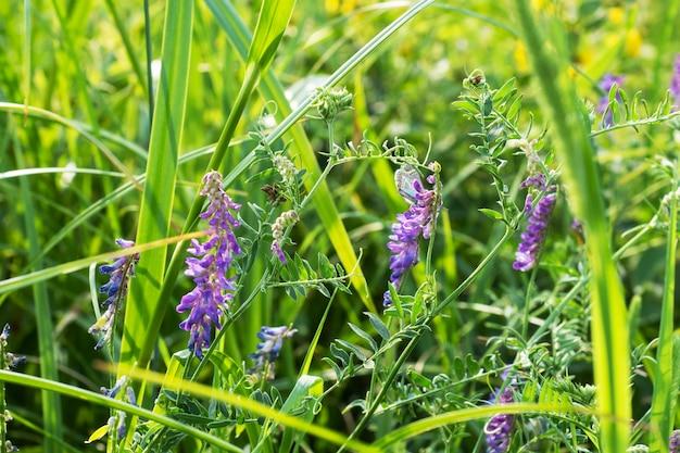 Blumen blau von gemeinem melilot