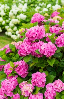 Blumen blühen am sonnigen tag. blühende hortensienpflanze. rosa und weiße hortensie macrophylla, die im frühling und sommer in einem garten blüht.