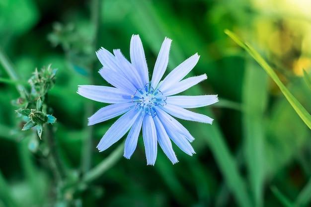 Blumen-chicorée-nahaufnahme auf grünen blättern