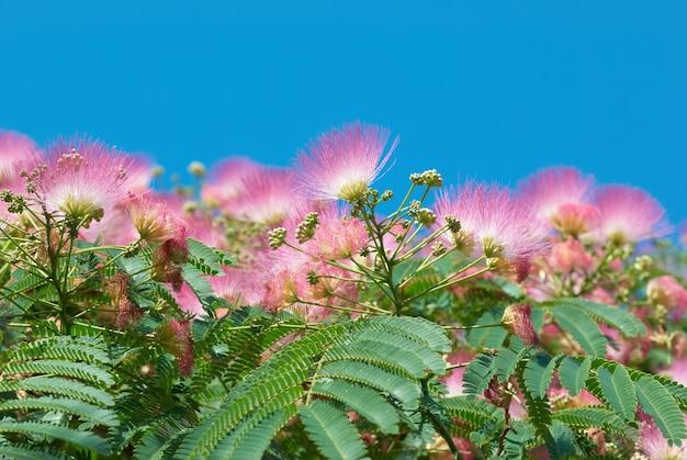 Blumen der akazie (albizzia julibrissin) mit blauem himmel