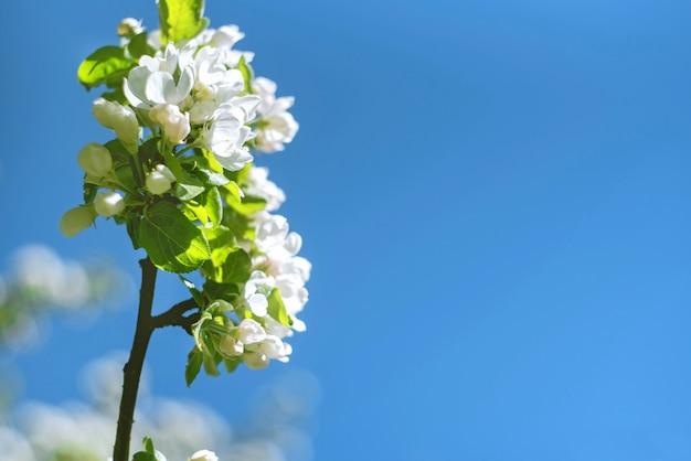 Blumen der kirschblüten an einem frühlingstag auf blauem himmel.