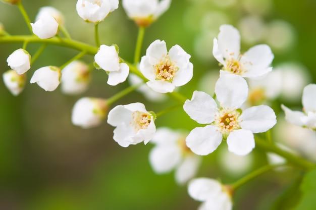Blumen der kirschblüten an einem frühlingstag
