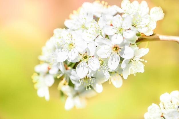 Blumen der kirschblüten