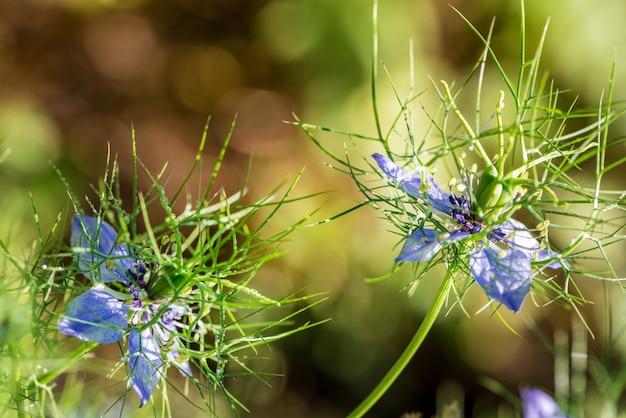 Blumen der liebe im nebel. sanft blaue blüten der zerlumpten dame.