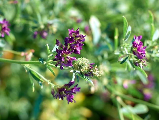 Blumen der luzerne auf dem feld medicago sativa