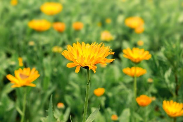 Blumen der ringelblume blühen im garten zwischen dem grünen gras