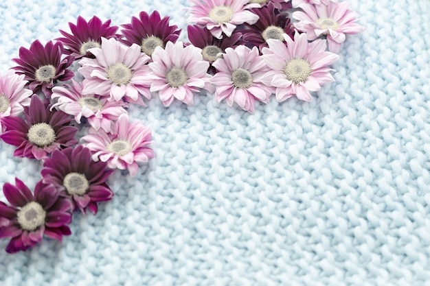 Blumen der rosa und burgunderfarbenen chrysantheme liegen auf einem blauen teppich aus merinowolle