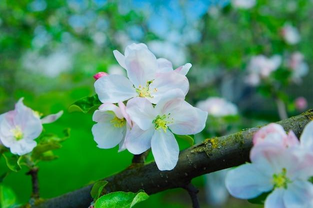 Blumen des apfelbaums auf einem zweig