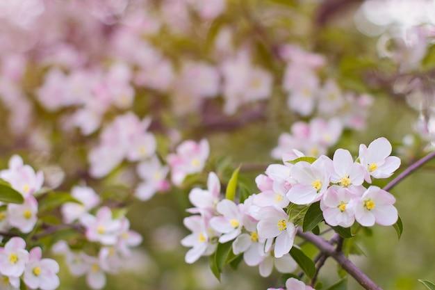 Blumen des dekorativen apfels auf dem zweig