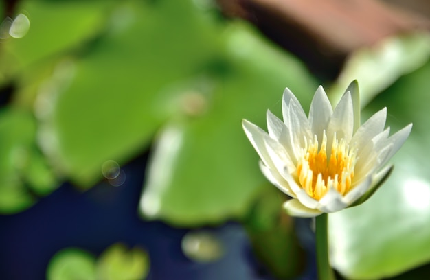 Blumen des weißen lotos in der natur auf schwarzem hintergrund