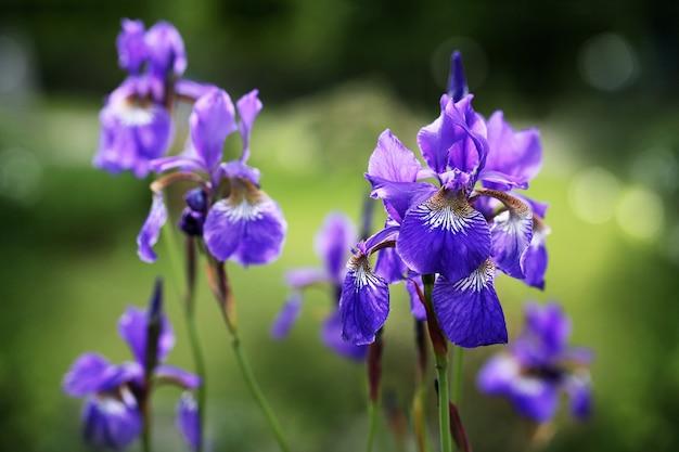 Blumen einer bärtigen iris an einem sonnigen sommertag.