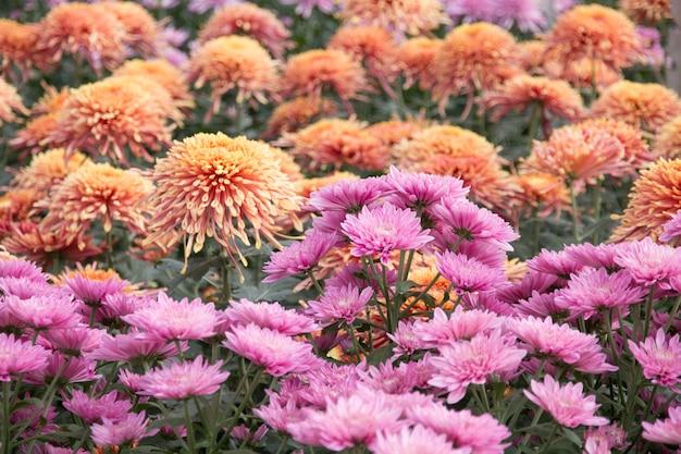 Blumen einer schöne chrysantheme im garten.