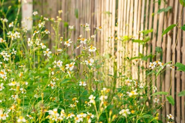 Blumen gänseblümchen im sommer oder frühling. natürliche idyllische hirtenlandschaft des sommers