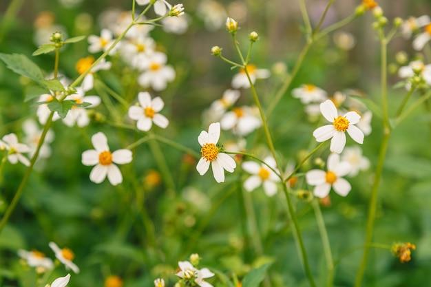 Blumen gänseblümchen in der sommerfrühlingswiese. natürliche idyllische hirtenlandschaft des sommers