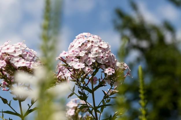 Blumen in der frühlingssaison, blumen werden zur dekoration und landschaftsgestaltung des territoriums angebaut