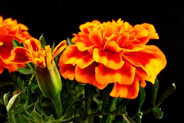 Blumen ringelblume nahaufnahme