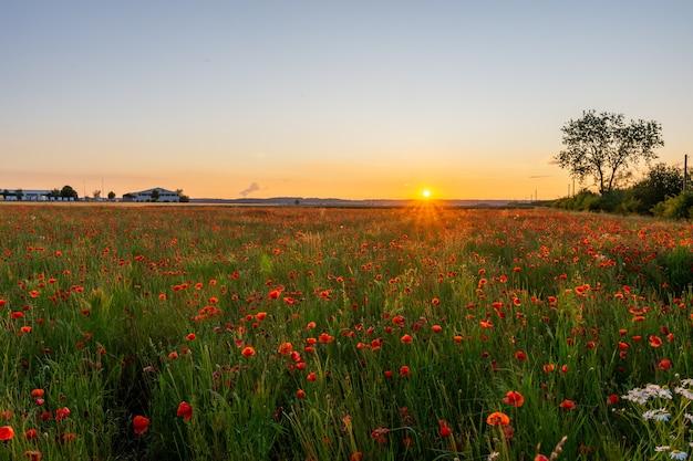 Blumen rote mohnblumen blühen auf wildem feld. schöne feldrote mohnblumen mit selektivem fokus. rote mohnblumen in weichem licht. schlafmohn. natürliche drogen. lichtung roter mohnblumen. einsame mohnblume. weichzeichnerunschärfe.