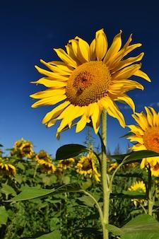 Blumen-sonnenblumen. blooming in bauernhof - feld mit blauem himmel. schöner natürlicher farbiger hintergrund.