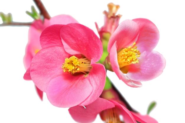 Blumen von chaenomeles japonica (japanische quitte) blühen. isoliert.