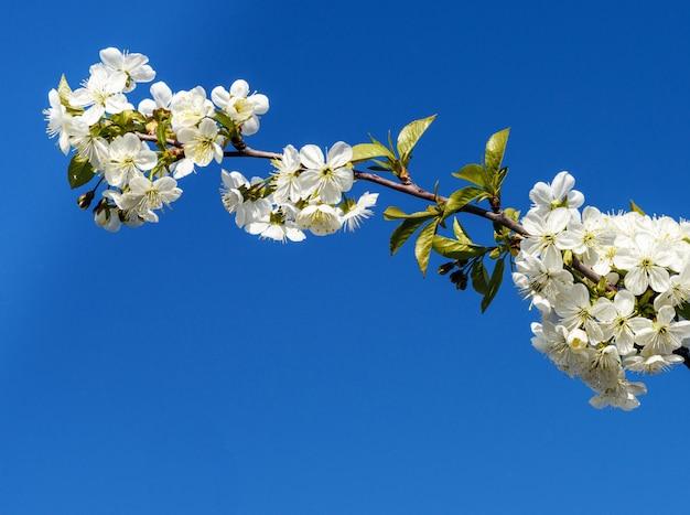 Blumen von kirschbäumen