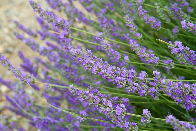Blumen von lavendel