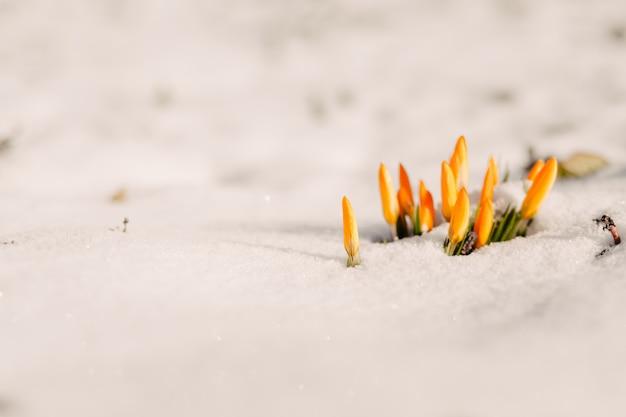 Blumen werden aus dem schnee gestanzt