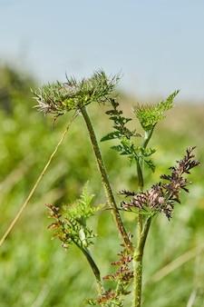 Blumen wilde karotte blühen gegen grünes feld und blauen himmel in hoher auflösung.