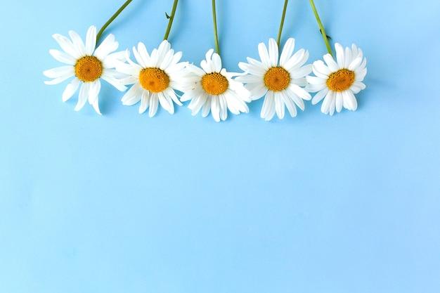 Blumen zusammensetzung. kamillenblüten auf pastellblauem hintergrund. frühlings-, sommerkonzept. flache lage, draufsicht, kopierraum