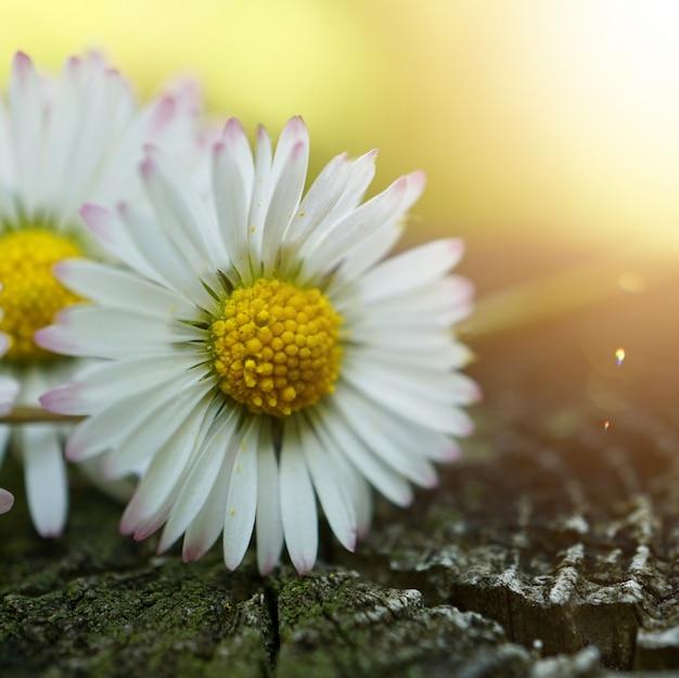Blumenanlage des weißen gänseblümchens im sommer in der natur