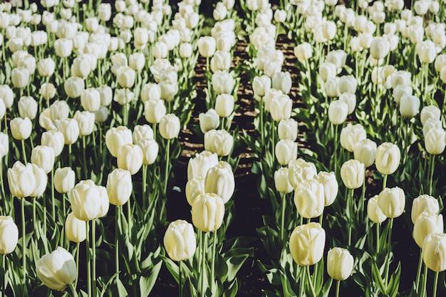 Blumenbeet aus weißen tulpen