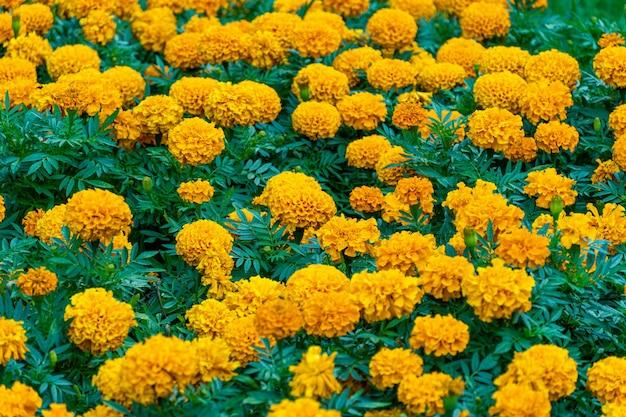 Blumenbeet, feld der orange blumen im parkhintergrund