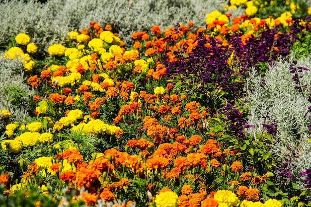 Blumenbeet mit gelben ringelblumen und lila salbeiblüten
