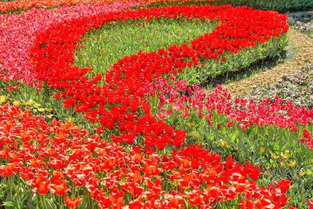 Blumenbeet mit schönen roten tulpen im garten