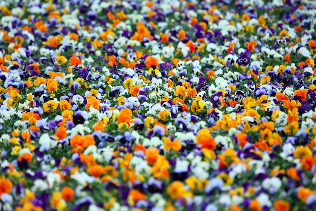 Blumenbeet mit verschiedenen blumenstiefmütterchen