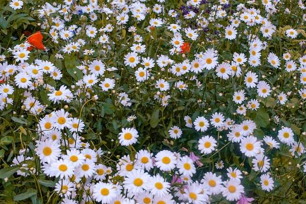 Blumenbeet mit weißen gänseblümchen am abend