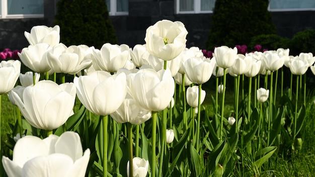 Blumenbeet mit weißen tulpen.