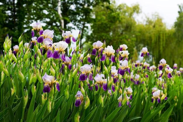 Blumenbeet mit weißen und lila iris im park auf einem hintergrund von bäumen_