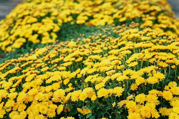 Blumenbeet von gelben chrysanthemen