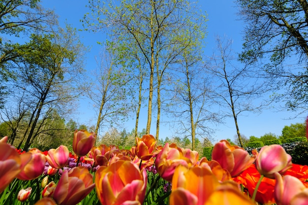 Blumenbeete von keukenhof-gärten in lisse, die niederlande